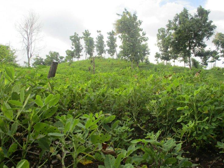 Sumber : Doc. SID : Lahan kacang di So Doro Pana